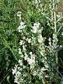 Salvia aethiopis sl16.jpg