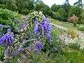 Salvia nutans 2016-05-31 2021.jpg