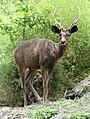Sambar deer Cervus unicolor.jpg