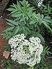 Flor de Sauco - Photo (c) Vinayaraj, algunos derechos reservados (CC BY-SA)