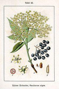 Sambucus nigra Sturm12042.jpg