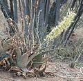 Sansevieria aethiopica, bloeiwyse, Dinokeng, a.jpg