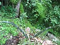 Sansevieria hybrid on Mount Guro (4529486071).jpg