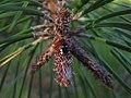 Sarantontones - ladybird - Joaninha - xoaniña - Mariquitas - marietes (6344574415).jpg