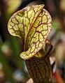 Sarracenia (alata x flava) x open-pollinated (5108402821).jpg