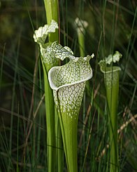 Sarracenia leucophylla at the Brooklyn Botanic Garden (81396)b.jpg