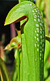 Sarracenia minor (9920406803).jpg