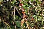 Satanic leaf-tailed gecko (Uroplatus phantasticus) Ranomafana 3.jpg
