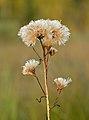 Saussurea alpina esthonica - Niitvälja bog.jpg