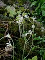 Saxifraga granulata 004.jpg