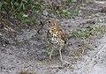 Schiermonnikoog - Zanglijster (Turdus philomelos).jpg