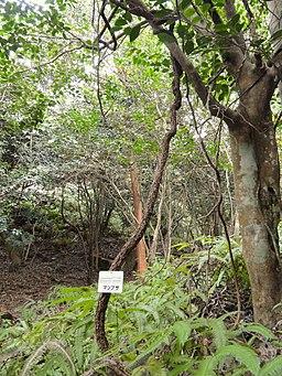 Schisandra repanda - Miyajima Natural Botanical Garden - DSC02383