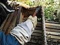 Scraping propolis.jpg