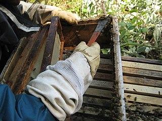 Zoškrabovanie propolisu z rámov v úli
