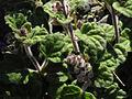 Scutellaria indica parviflora 2.jpg