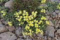 Scutellaria orientalis 02.JPG