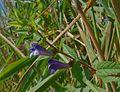 Scutetellaria galericulata1.jpg