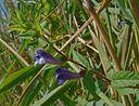 fleurs de scutellaire