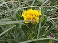 Sea Beach Groundsel.jpg