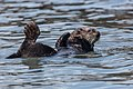 Sea Otters (Enhydra lutris), from a raft of about 15, (8625971897).jpg