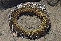 Sea anemone (42252310145).jpg