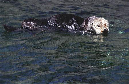 Sea otter(Vancouver Aquarium)02(js).jpg
