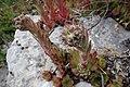 Sempervivum tectorum, familija Crassulaceae 06.jpg