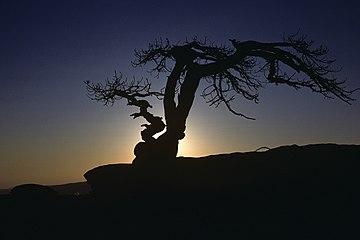 Sentinel Dome tree 2.jpg