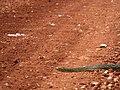 Serpente Transpantaneira Pantanal Poconé MT 2.jpg