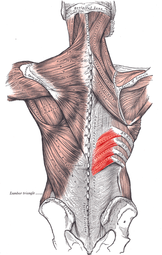 Serratus posterior inferior muscle - Muscles connecting the upper extremity to the vertebral column (serratus posterior inferior labeled at center right).