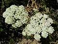 Seseli libanotis (Libanotis montana) (15285855250).jpg