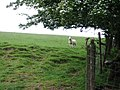 Sheep - geograph.org.uk - 463860.jpg