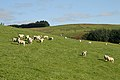 Sheep on Crawthat Hill - geograph.org.uk - 996692.jpg