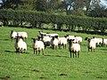Sheep on Gaer Hill Farm - geograph.org.uk - 1555343.jpg