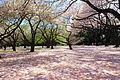 Shinjuku Gyoen National Garden - sakura 2.JPG