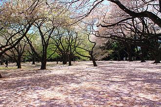 Shinjuku Gyo-en - Cherry blossom of Shinjuku Gyo-en