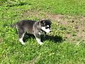 Siberian husky at 5 weeks-01.jpg