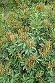 Sibiraea laevigata kz01.jpg