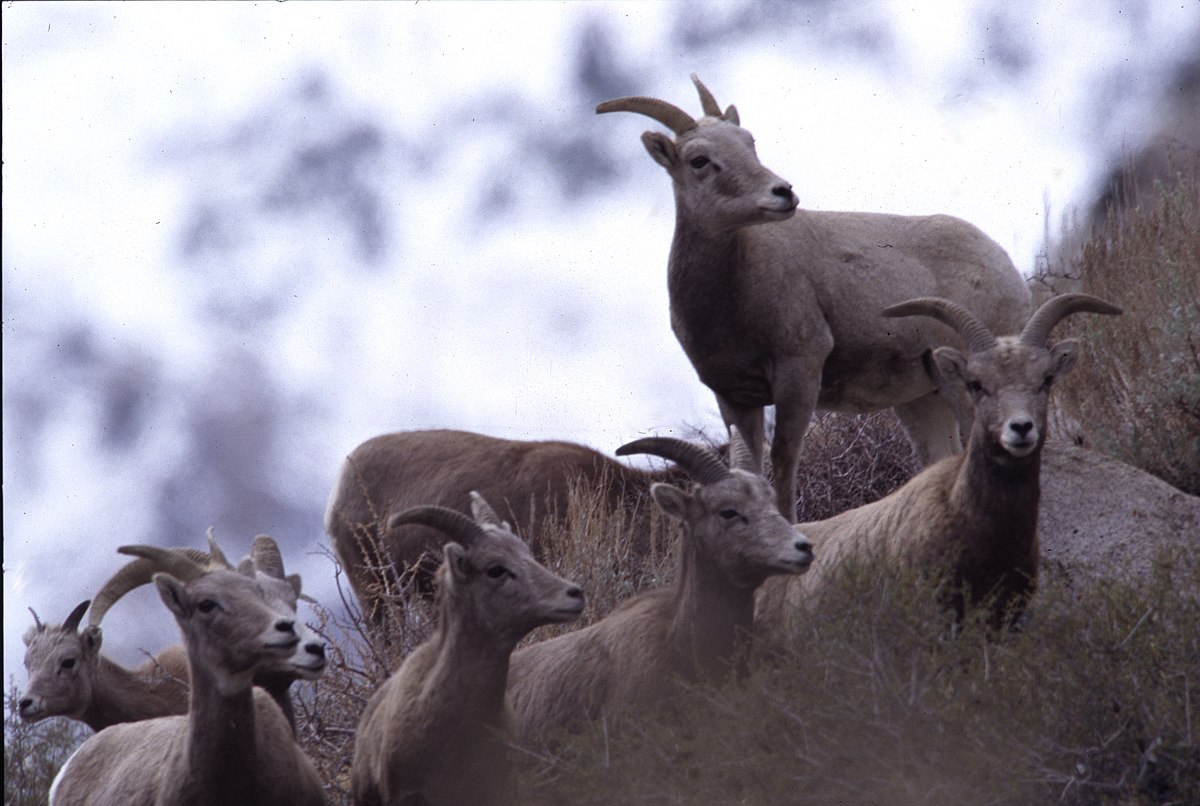a study of the bighorn sheep Answer to in a population of desert bighorn sheep, a mutant recessive allele c  has been found to cause curled coats in both  get this answer with chegg  study.