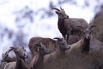 Sierra Nevada bighorn sheep - Herd at Wheeler Crest