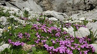 Arctic–alpine - Silene acaulis growing in the Austrian Alps (Alpine; 47° N; 2200 m above sea level)
