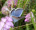 Silver-studded Blue. Plebejus argus. Male - Flickr - gailhampshire.jpg