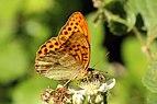 Silver-washed fritillary butterfly (Argynnis paphia) male underside 2.jpg
