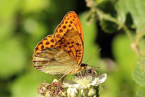 Silver-washed fritillary butterfly (Argynnis paphia) male underside 2