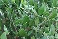 Simmondsia chinensis 3zz.jpg