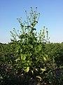 Sinapis alba subsp. alba sl8.jpg