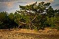 Single Pine.jpg
