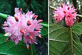 Siparuna thecaphora, Pasmo Fruit (9755164435).jpg