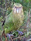 A stocky, green parrot with black spots on the back and a straw-coloured faced