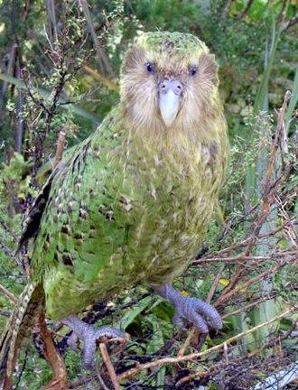 Kakapo - A male named Sirocco on Maud Island